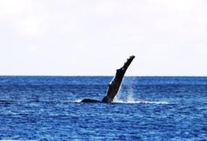 Niue vinkende hval